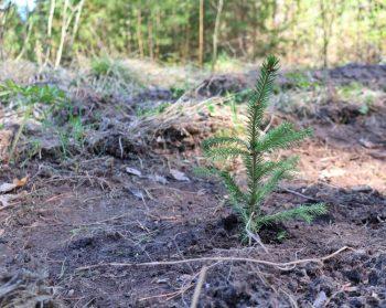 Городское лесничество вместе с волонтерами восстанавливают лес в черте Первоуральска