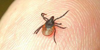 Уже 15 первоуральцев пострадали от укусов клещей