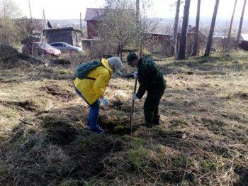 В роще Могилица высадили 500 молодых сосен