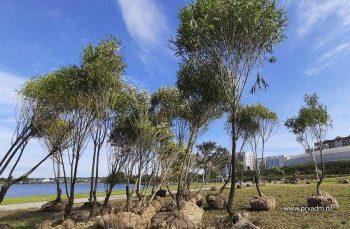 На городской набережной высадили больше полусотни шаровидных ив