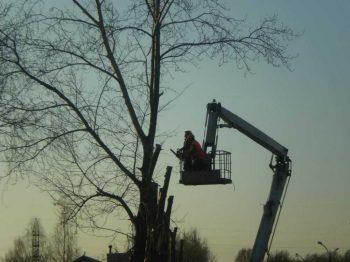 В этом году в округе кронируют больше 700 деревьев
